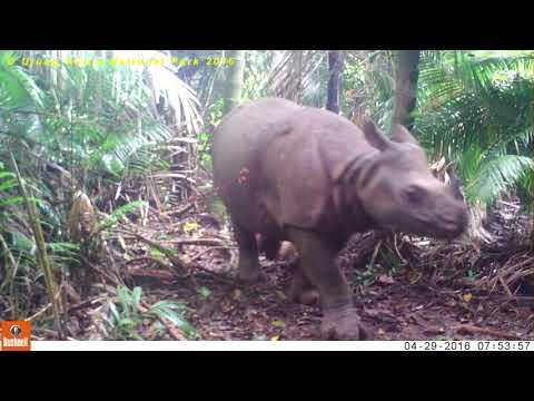 Monitoring Badak Jawa Menggunakan Video Trap di TN. Ujung Kulon