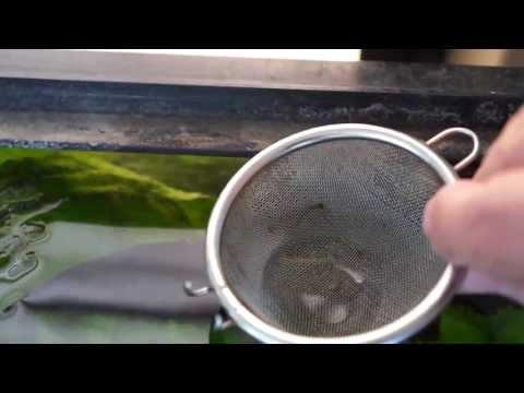 夏の産卵その1、Corydoras sterbai 熱帯魚 コリドラス ステルバイ