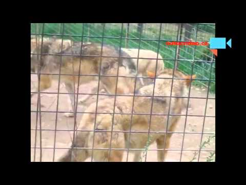 Vlčí smečka v zoo Dvorec u Borovan 16.4.2016