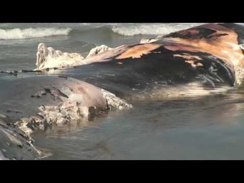Xác Cá Ông trôi dạt vào bờ biển San Francisco ngày 20/9/2010