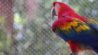 Screaming Scarlet Macaw bird zoo animal Busch Gardens Tampa Florida