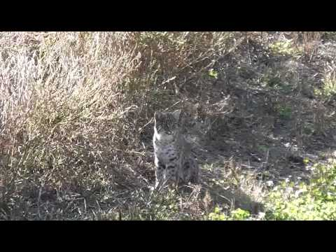 October 2014 Bobcat
