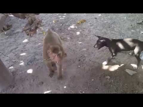 Video Monkey vs Dog download in MP3, 3GP, MP4, WEBM, AVI, FLV January 2017