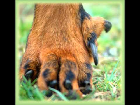 Beauceron - some info about breed