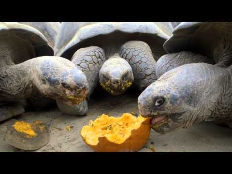 Giant Tortoises Devour Pumpkins for Halloween