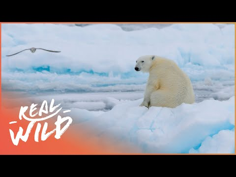 Isolating With Wild Polar Bears (Wildlife Documentary) | Real Wild