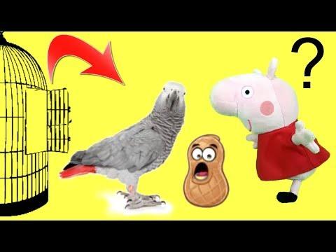 Peppa Pig en español - Peppa pig y sus amigos: el loro Polly se escapa y come cacahuetes / Videos de Pepa la cerdita