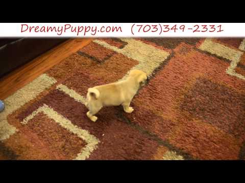 Stunning Male Puggle Puppy
