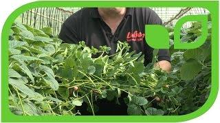 Und nochmals Erdbeervermehrung - und wie dann die Pikierlinge weiterverarbeitet werden