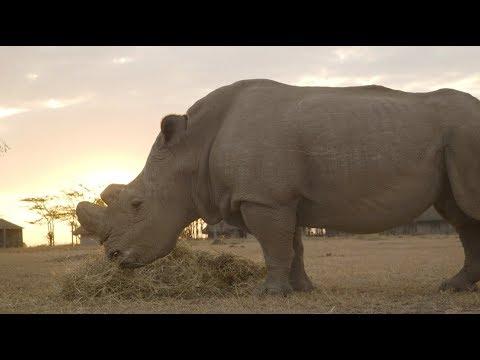 The Last Male Northern White Rhino on Earth (видео)