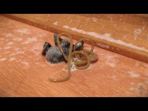 死掉的蜘蛛身體裡竟然爬出超級大蛔蟲!