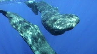 The Sperm whale holds many records. It is the deepest-diving whale on Earth, the largest toothed whale on Earth and has the...
