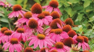 Perennial Flowers: Border, Sun, Shade Perennial Plants, Seeds ...
