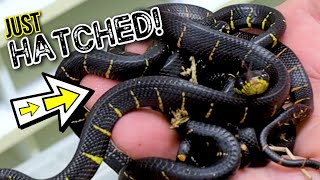 VENOMOUS SNAKES HATCHING! GIANT SNAKES EAT!! | BRIAN BARCZYK by Brian Barczyk
