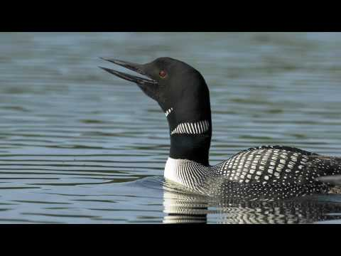 Voices Common Loon