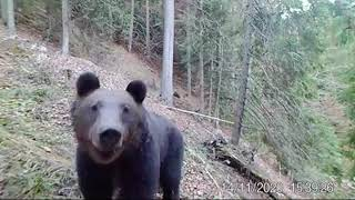 Urs din Călimani, în căutare de hrană