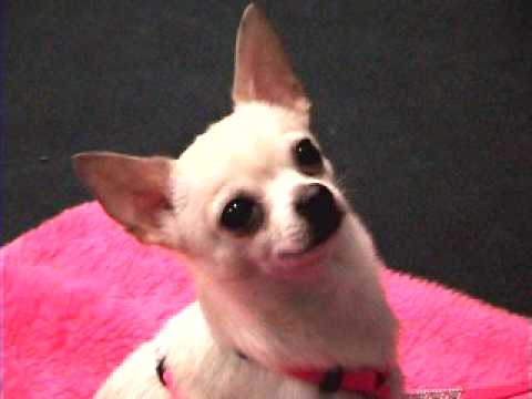 Dog Starting Agility – Training instruction – Chihuahua HattyCakes BakersMan