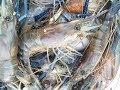 foto โคตรมันเต็มกระชัง ตกกุ้งบ่อดินกินกระจาย by fishingEZ Borwap