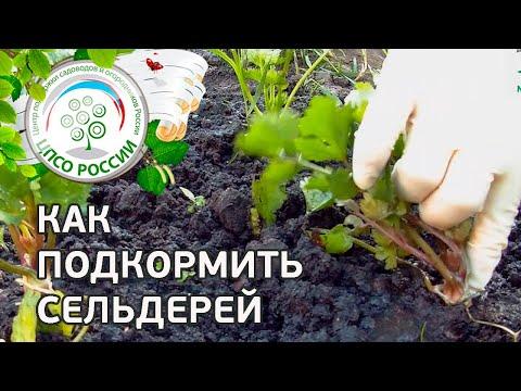Подкормка сельдерея. Выращивание сельдерея корневого.