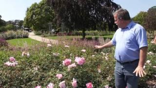 #502 Die anderen Rosen von David Austin Roses