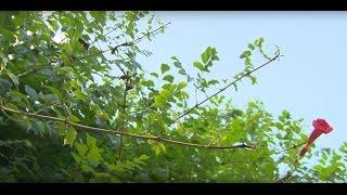 A trombitafolyondár gondozása (Campsis radicans)