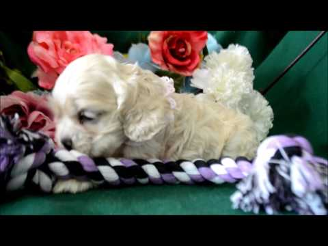 Halley AKC Silver Buff Female Cocker Spaniel Puppy for sale