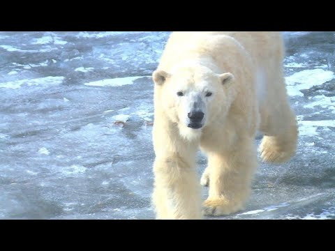 Berlin: Tierpark Berlin - Eisbären freuen sich über f ...