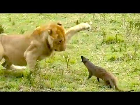 Video Ozzy Man Reviews: Mongoose vs Lions download in MP3, 3GP, MP4, WEBM, AVI, FLV January 2017