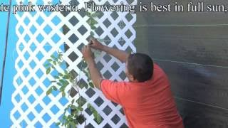 http://www.tytyga.com/product/Wisteri... Wisteria vines are one of the first flowers to bloom in the spring The blue flowers have a...
