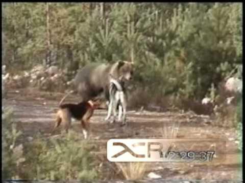 Dog vs Bear