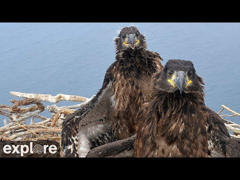 Live-Cam: Vögel - Weißkopfseeadler / Bald Eagle - Horst (West End Catalina Island, Kalifornien, USA)