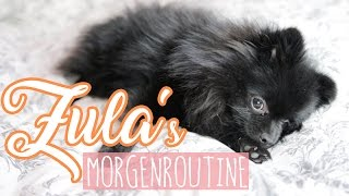 Video Zula's MORGENROUTINE ( Pomeranian ) 😍 | Dagi Bee MP3, 3GP, MP4, WEBM, AVI, FLV Agustus 2018