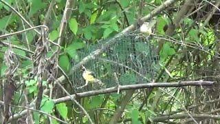Video Dalam sekejap burung-burung bergelantungan di racik senar pancing MP3, 3GP, MP4, WEBM, AVI, FLV Maret 2019