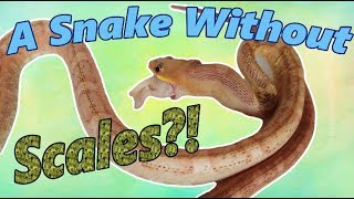 Feed My Pet Friday: Scaleless Rat Snake! by Snake Discovery