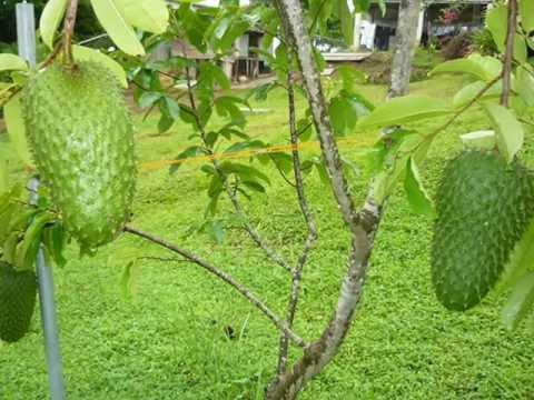 La guanabana, un anticanerigeno natural.wmv
