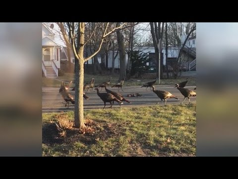 Why These Turkeys Circling A Dead Cat Remind Us How Amazing Nature Can Be