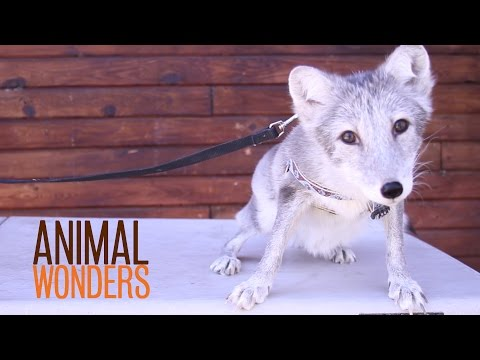 Happening - Jessi tells you what's happening at Animal Wonders right now including animals that are sick, in training, and have changing fur and feathers. -- Looking for more awesome animal stuff? Subscribe...
