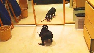 animale caini vs oglinzi