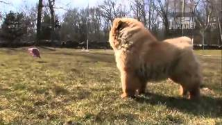 Dogs 101  Chow Chow