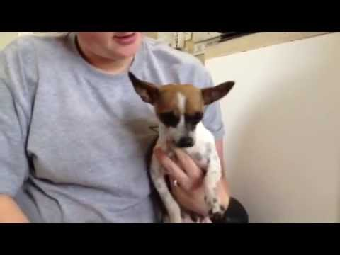 Princess 1 yr. old Chihuahua Rifle Animal Shelter 970-625-8808
