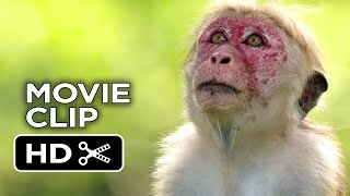 Nonton Monkey Kingdom Movie Clip   His Name Is Kumar  2015    Disneynature Documentary Hd Film Subtitle Indonesia Streaming Movie Download
