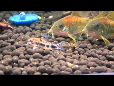 熱帯魚図鑑73 コリドラス・ハブロースス 世界最小級コリドラス 花園教会水族館