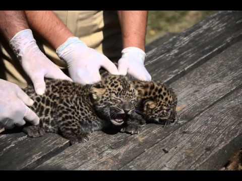 Bemutatták a leopárd bébiket  – szon.hu