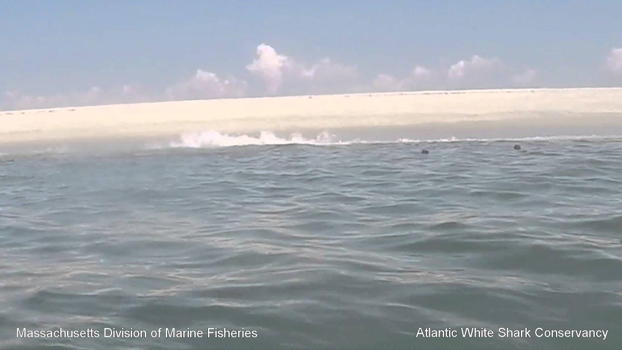 White Shark 0: Seal 1 – Cape Cod