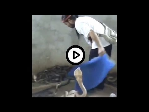 un uomo tra centinaia di cobra, incredibile!