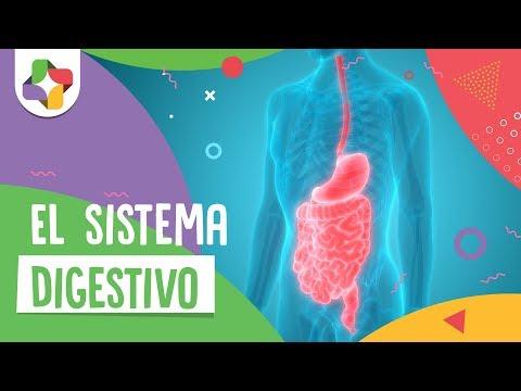 El sistema digestivo - Biología - Educatina