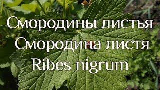 Смородина чёрная (листья)