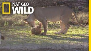 Watch a Lion Try to Eat a Tortoise | Nat Geo Wild by Nat Geo WILD