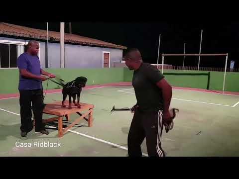 Video Treino guarda rottweiler 06 meses download in MP3, 3GP, MP4, WEBM, AVI, FLV January 2017