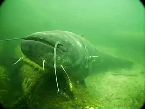 Großer Wels im Baggersee